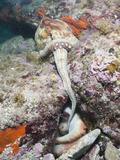 Mating of Common Octopus (Octopus Vulgaris), Cap De Creus, Costa Brava, Spain Photographic Print by Reinhard Dirscherl