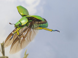 Jewel Beetle in Flight (Chrysina Woodi), Texas, USA Photographic Print by John Abbott