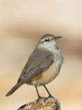 Rock Wren (Salpinctes Obsoletus) Perched, Victoria, British Columbia, Canada Photographic Print by Glenn Bartley