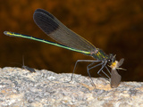 Male River Jewelwing Damselfly with Prey (Calopteryx Aequabilis) Photographic Print by John Abbott