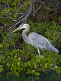 Great Blue Heron (Ardea Herodias), Isabela Island, Galapagos Islands Photographic Print by Gerald & Buff Corsi