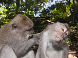 Longtailed Macaques Grooming (Macaca Fascicularis), Bali, Indonesia Photographic Print by Reinhard Dirscherl
