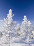 Snow Covered Trees in Urho Kehkkosen National Park in Northern Finland Photographic Print by Ashley Cooper