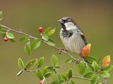House Sparrow (Passer Domesticus) Perched on a Branch In, Victoria, BC, Canada Photographic Print by Glenn Bartley