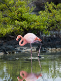 Greater Flamingo (Phoenicopterus Ruber) Santa Cruz Island, Indefatigable Island, Galapagos Islands Photographic Print by Gerald & Buff Corsi