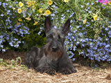 Scottish Terrier Sitting in a Garden, MR D2777 Photographic Print by Cheryl Ertelt
