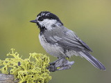 Mountain Chickadee (Poecile Gambeli) Perched on a Branch, Oregon, USA Photographie par Glenn Bartley