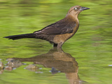 Grackle, Costa Rica Reproduction photographique par Glenn Bartley