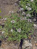 Coyote Mint (Monardella Odoratissima Pallida), Lassen National Park, California, Family Lamiaceae Photographic Print by Gerald & Buff Corsi