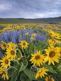 Balsamroot and Lupine Flowers, Columbia Hills, Washington, USA Photographic Print by Sean Bagshaw