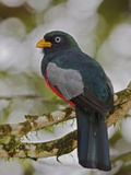 Choco or White-Eyed Trogon (Trogon Comptus) Perched on a Branch, Milpe Reserve, Ecuador Photographic Print by Glenn Bartley
