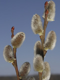 Pussy Willow Catkins Photographic Print by Jeff Daly
