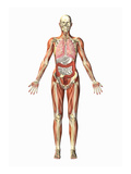 Biomedical Illustration of a Man in Frontal View Giclee Print by Scott Camazine