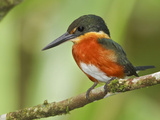 American Pygmy Kingfisher (Chloroceryle Aenea) Perched on a Branch Near the Napo River Photographic Print by Glenn Bartley
