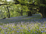 Meadow of Bluebell Flowers (Endymion Non-Scriptus) on the Forest Floor under Beech Trees Photographic Print by Gary Cook