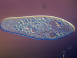 Living Paramecium Caudatum Ciliate Protozoan with Contractile Vacuoles, DIC, LM 1000 Photographic Print by Michael Abbey