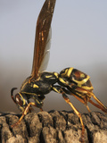 Paper Wasp Photographic Print by Jeff Daly