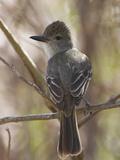 Brown-Crested Flycatcher, Costa Rica Photographie par Glenn Bartley