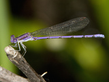 Male Violet Dancer Damselfly (Argia Fumipennis Violacea), Maine, USA Photographic Print by John Abbott