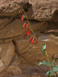 Firecracker Penstemon (Penstemon Eatonii), Capitol Reef National Park, Utah, USA Photographic Print by Gerald & Buff Corsi
