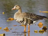 Greater White-Fronted Goose (Anser Albifrons), Victoria, British Columbia, Canada Photographic Print by Glenn Bartley