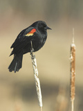 Red Winged Blackbird, North America Photographic Print by Glenn Bartley