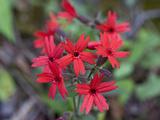 Fire Pink (Silene Virginica), Great Smoky Mountains National Park,  Family Caryophyllaceae Photographic Print by Gerald & Buff Corsi