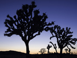 Joshua Trees Silhouetted at Dusk in Joshua Tree National Park, California, USA Photographic Print by David Cobb