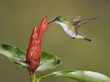 Andean Emerald Hummingbird (Amazilia Franciae) Feeding at a Red Tubular Flower While Flying Photographic Print by Glenn Bartley