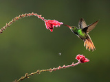 Rufous-Tailed Hummingbird (Amazilia Tzacatl) Nectaring at a Fuchsia Flower, Costa Rica Photographic Print by Gregory Basco