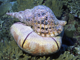 Triton Trumpet Eating a Sea Star, Fiji Photographic Print by Hal Beral
