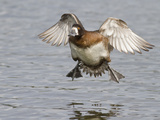 Female Lesser Scaup (Aythya Affinis) Flying, Victoria, BC, Canada Photographic Print by Glenn Bartley