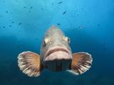 Dusky Grouper (Epinephelus Marginatus), Cap De Creus, Costa Brava, Spain Photographic Print by Reinhard Dirscherl