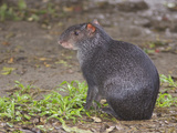A Black Agouti on the Jungle Floor in Amazonian Ecuador Photographic Print by Glenn Bartley
