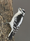 Downy Woodpecker (Picoides Pubescens) Perched on a Branch, Ottawa, Ontario, Canada Photographic Print by Glenn Bartley