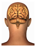 Biomedical Illustration of the Human Brain Superimposed on the Head, Rear View Giclee Print by Scott Camazine