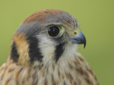 American Kestrel (Falco Sparverius) Head, Ontario, Canada Photographic Print by Glenn Bartley