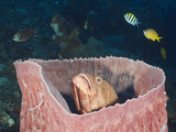 Hind (Cephalopholis) Inside a Barrel Sponge (Xestospongia Testudinaria), Amed, Bali, Indonesia Photographic Print by Reinhard Dirscherl