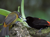 Scarlet-Rumped Tanager (Ramphocelus Passerinii) Male and Female Photographic Print by Glenn Bartley