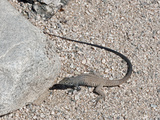 Western Whiptail Lizard (Cnemidophorus Tigris), Joshua Tree National Park, Mojave Desert Photographic Print by Buff & Gerald Corsi
