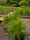 Zig Zag Bridge and Iris, Japanese Garden, Portland, Oregon, USA Photographic Print by David Cobb