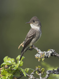 Olive-Sided Flycatcher (Contopus Cooperi) Perched on a Branch, Victoria, British Columbia, Canada Photographic Print by Glenn Bartley