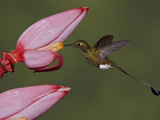 Booted Racket-Tail Hummingbird (Ocreatus Underwoodii), Tandayapa Valley, Ecuador Photographic Print by Glenn Bartley
