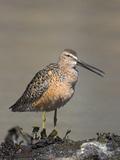 Short-Billed Dowitcher (Limnodromus Griseus) Feeding Along the Shoreline Near Victoria Photographic Print by Glenn Bartley