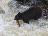 American Black Bear (Ursus Americanus) with Captured Pink Salmon, Tongass National Forest Photographic Print by Buff & Gerald Corsi
