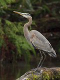 Great Blue Heron (Ardea Herodias) Perched on a Branch, Victoria, BC, Canada Photographic Print by Glenn Bartley