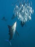 Atlantic Sailfish Hunting Sardines (Istiophorus Albicans), Isla Mujeres, Yucatan Peninsula Sea Photographic Print by Reinhard Dirscherl