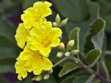 Yellow Cordia (Cordia Lutea), Santiago Island, Galapagos Islands, Ecuador Photographic Print by Gerald & Buff Corsi