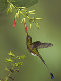 A Male Booted Racket-Tail Hummingbird (Ocreatus Underwoodii) Photographic Print by Glenn Bartley