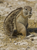 Ground Squirrel (Xerus Inauris) Using its Tail to Create Shade from the Hot Sun Photographic Print by Gerald & Buff Corsi